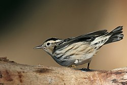 Black-and-white Warbler.jpg