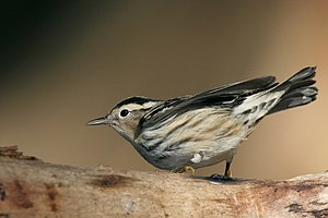 British Birds Rarities Committee - Image: Black and white Warbler