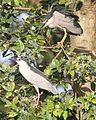 Black-crowned Night Heron (Nycticorax nycticorax) adult, Bogor Botanic Garden, Bogor, Java (1).jpg