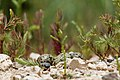 Black-necked Stilt Eggs1.jpg