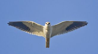 Black-winged kite - Hovering at Rajkot