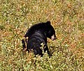Black Bear 6 (8047401498).jpg