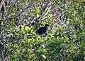 Black Sicklebill male. Epimachus fastosus (48670906928).jpg