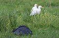 Black heron, Egretta ardesiaca, at Marievale Nature Reserve, Gauteng, South Africa (30243591015).jpg