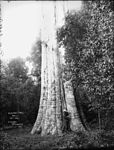 Blackbut Tree, Bulli (2469670770).jpg