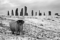 Blackface ram at the Callanish Stones.jpg
