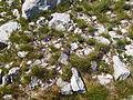 Blaugras- und Nacktriedrasen (Elyno-Seslerietea) Verband Crepidetalia dinaricae Ordnung Oxytropidion dinaricae Orjen4.jpg