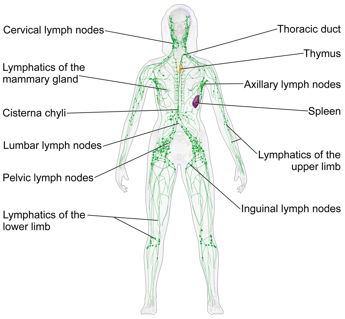 Lymphatic system - Wikipedia