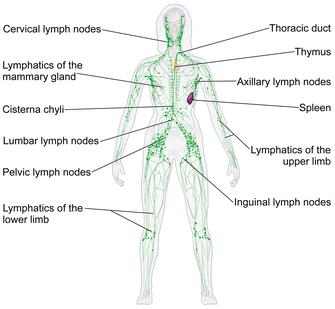 lymfaattinen järjestelmä