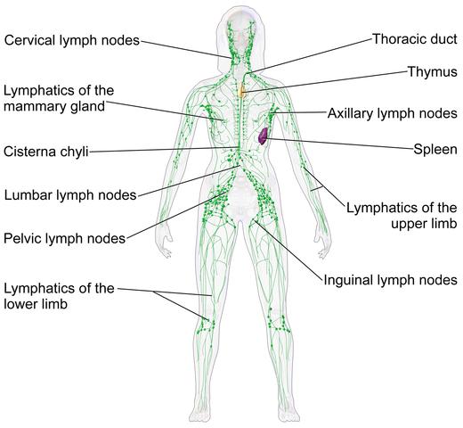 Fileblausen 0623 Lymphaticsystem Femaleg Wikimedia Commons