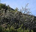 Blomstring eple-Vines.JPG
