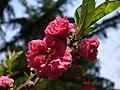 Blossom (3398608338).jpg