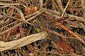 Blue-faced Meadowhawk - Sympetrum ambiguum, Mason Neck, Virginia - 30961392181.jpg