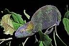 Blue-legged chameleon (Calumma crypticum) female 2 Ranomafana.jpg