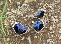 Blue Pansy (Junonia orithya) UP. Yavatmal, Maharashtra. Mud-puddling on human excrement..jpg