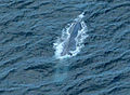 Blue Whale Southern California Coast July 13th 2014 photo D Ramey Logan.jpg