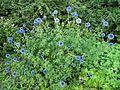 Blue flowers, Lund, Jin Zan.jpg