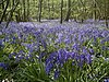 Bluebells in Blakes Wood