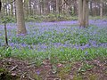 Bluebells in Fox Wood - geograph.org.uk - 410992.jpg
