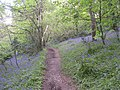 Bluebells in woods behind Maenporth - geograph.org.uk - 706965.jpg