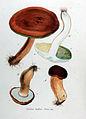 Boletus badius — Flora Batava — Volume v11.jpg