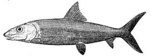 Bonefish - Image: Bonefish