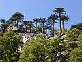 Bosque de araucarias, en un cerro de Icalma, Región de La Araucanía, Chile.jpg