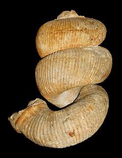 <i>Bostrychoceras</i> genus of molluscs (fossil)