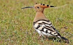 Burung Hud Hud Eurasia Wikipedia Bahasa Melayu Ensiklopedia Bebas