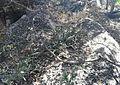 Botswanan Sansevieria - Botswana Bot Gardens 1.jpg
