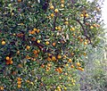 Bountiful Harvest, Oranges, Redlands, CA 2-2012 (6833453052).jpg