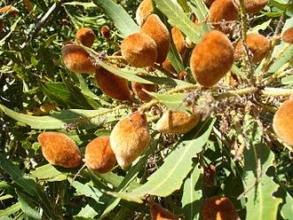 Proteaceae - Fruit of Brabejum stellatifolium