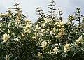 Brabejum stellatifolium tree CapeWildAlmond 3.JPG