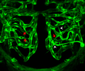Brain blood vasculature as a function of blood flow - journal.pbio.1001375.g001.png