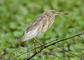 Breeding Indian Pond Heron.jpg