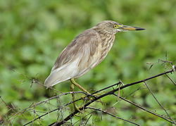 Pond Heron spotted at Kavalam