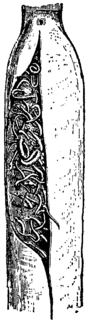Britannica Pipe-fishes Sub-caudal Pouch.png