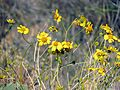 Brittlebush - Flickr - treegrow (3).jpg