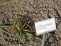 Briza minor - Oslo botanical garden - IMG 8892.jpg