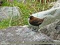 Brown Dipper (Cinclus pallasii) (28288699220).jpg