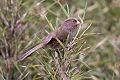 Brown Parrotbill (Cholornis unicolor).jpg
