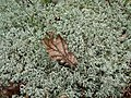 Brown leaf on sphagnum moss.jpg