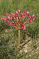 Brunsvigia radulosa 20D 4300.jpg