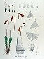 Bryum lacustre — Flora Batava — Volume v17.jpg