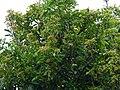 Buchanania axillaris (Cuddapah Almond) 13.jpg