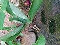 Bud of pinellia ternata.jpg