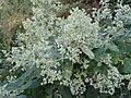 Buddleja dysophylla, bloeipluime, Louwsburg.jpg