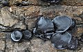 Bulgaria inquinans - Gemeine Schmutzbecherling.jpg