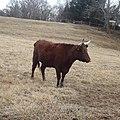 Bull at Mount Vernon.jpg