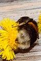 Bumblebee on a flower eating.jpg